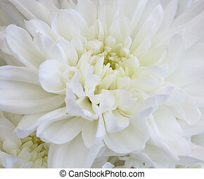 Big beautiful white chrysanthemum - the flower closeup