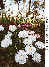 White Chrysanthemum Flower in a Green Garden