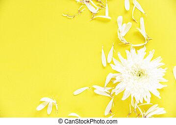 White chrysanthemum flower on yellow background