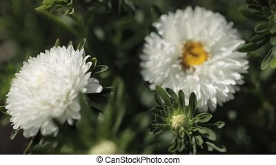 White chrysanthemum in deep focus on HD