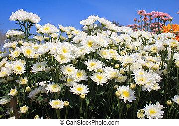 White chrysanthemum in garden
