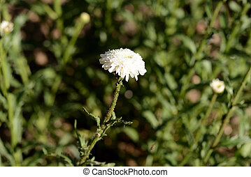 White chrysanthemum in the summer garden on a bright sunny day