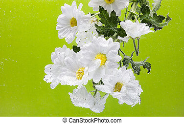 White Chrysanthemum with water drops on a green background