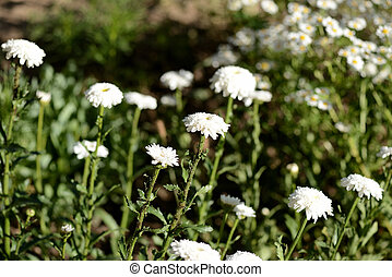 White chrysanthemums in the summer garden on a bright sunny day