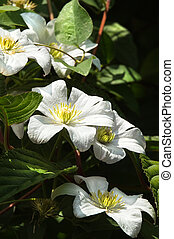 White Clematis flowers in summer growing in a tree