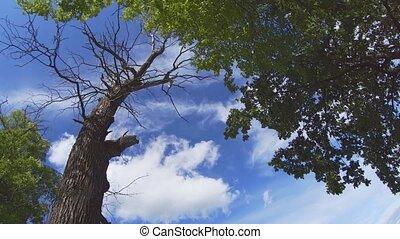 White Cloud Drifting over Dead Oak in Russian Wilderness - ...