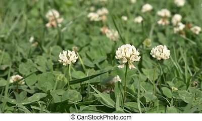 White clover flowers field. Clover field in the garden in...
