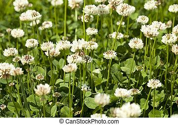 white clover - white flower clover on green background leaf