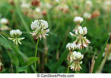 White Clover Wild Flower in Midwest United States meadow - ...