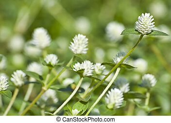 White clovers background