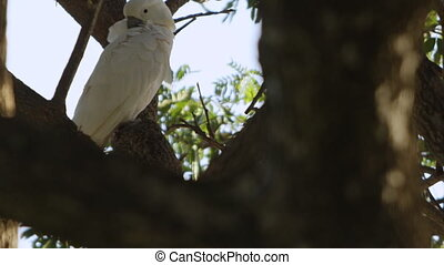 White cockatoo cleaning its feathers - A tilt up shot of a...