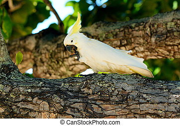 White cockatoo eat on a tree branch