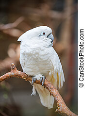 White cockatoo parrot sitting on a branch