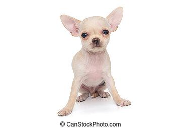 White color Chihuahua puppy - Small, white color Chihuahua ...