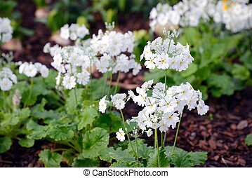 white color full blown flowers in a garden