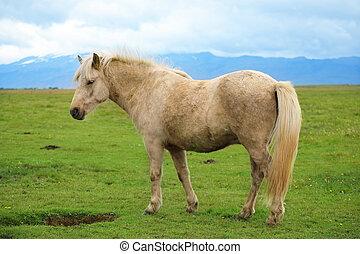 White color Icelandic horse