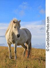 White color pedigree Icelandic horse