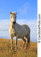 White color thoroughbred Icelandic horse