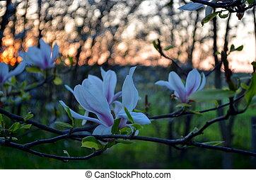 Magnolia in the evening sun