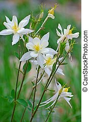 Wild white columbine flowers growing in the mountains.