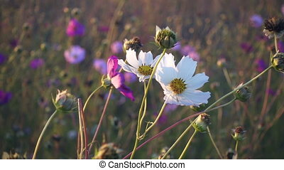 White cosmos flower sway on the wind, slow motion