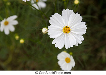 White cosmos flowers in green background