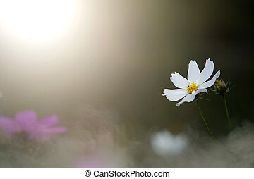 White cosmos flowers with blurred background in the garden.