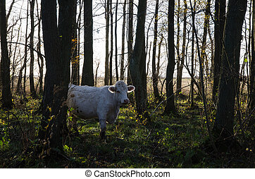 White cow among trees