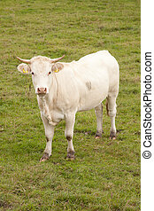 white cow in meadow looking