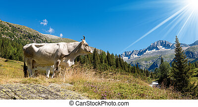 White cow on a Mountain Pasture - Italy