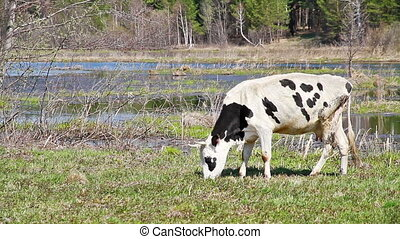 White cow with black spots is the young grass on background of lake