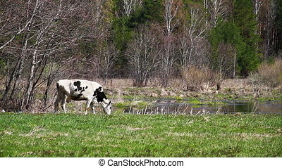 White cow with black spots is the y