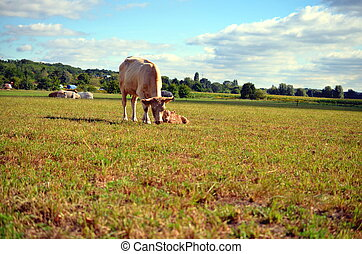 white cow with calf on the meadow