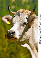 White Cow with Tongue Sticking Out