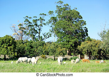 White cows in field.