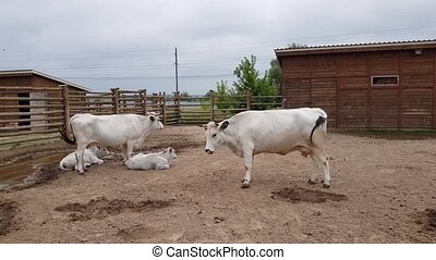 white cows in the zoo