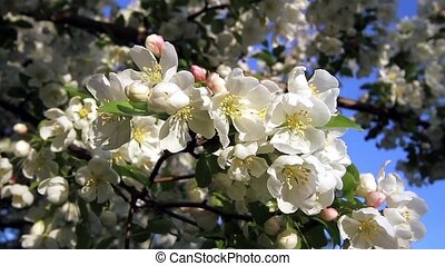 White Crab Apple Tree Blossoms