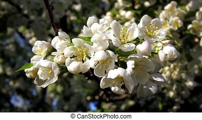White Crab Apple Tree Flowers Loop