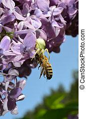 White crab spider and honey bee - predator and pray 1