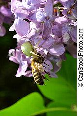 White crab spider and honey bee - predator and pray 2