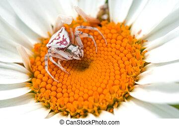 White crab spider on white flower, close up. Misumena vatia.