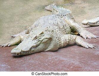 white crocodile in park, albino