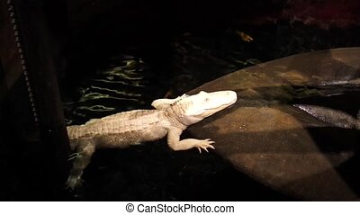 White crocodile in big aquarium. - White crocodile in big...
