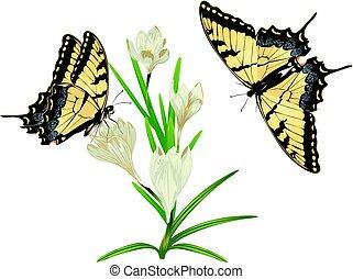 White Crocus Flowers - Spring flowers, white blooming crocus...