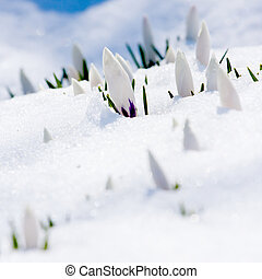 White crocus in snow with green leaves