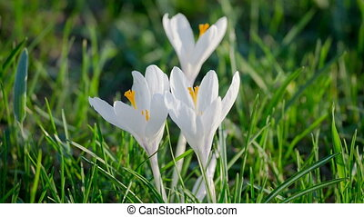 White crocuses on green grass tremble on the wind, closeup
