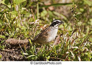 White crowned sparrow feeding