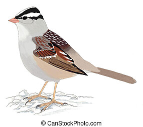 White-crowned Sparrow - Zonotrichia l. leucophrys