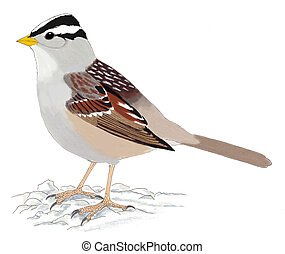 White-crowned Sparrow - Zonotrichia leucophrys gambelii