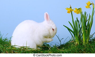 White cute bunny scratching his nose next to daffodils in...